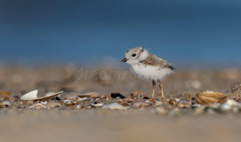 Leda i rör brockfågelfågelungen på stranden fotografering för bildbyråer