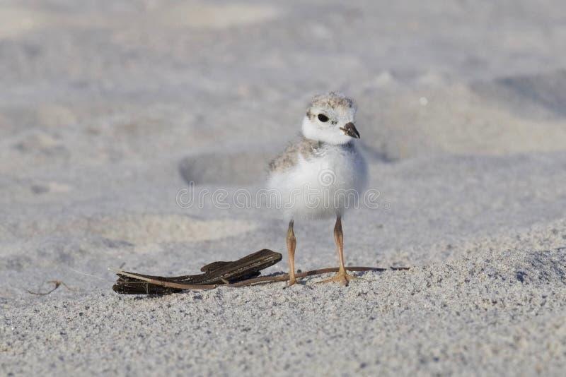 Leda i rör brockfågelfågelungen på stranden royaltyfri fotografi