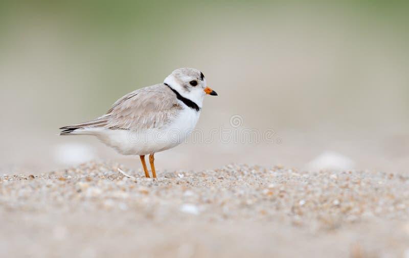 Leda i rör brockfågeln i nytt - ärmlös tröja fotografering för bildbyråer