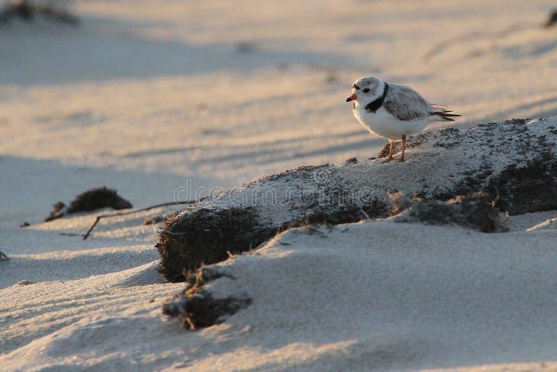 Leda i rör brockfågeln på solnedgången royaltyfria foton