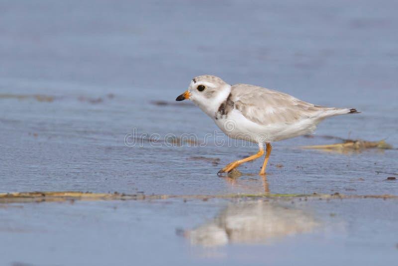Leda i rör brockfågeln på stranden arkivbild