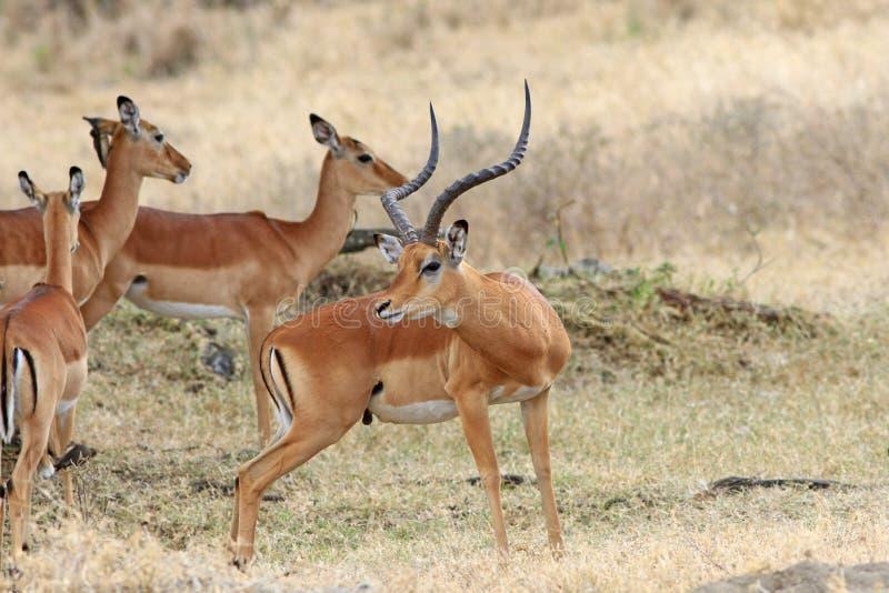 Ledare för vuxen man av en antilopimpala arkivbilder