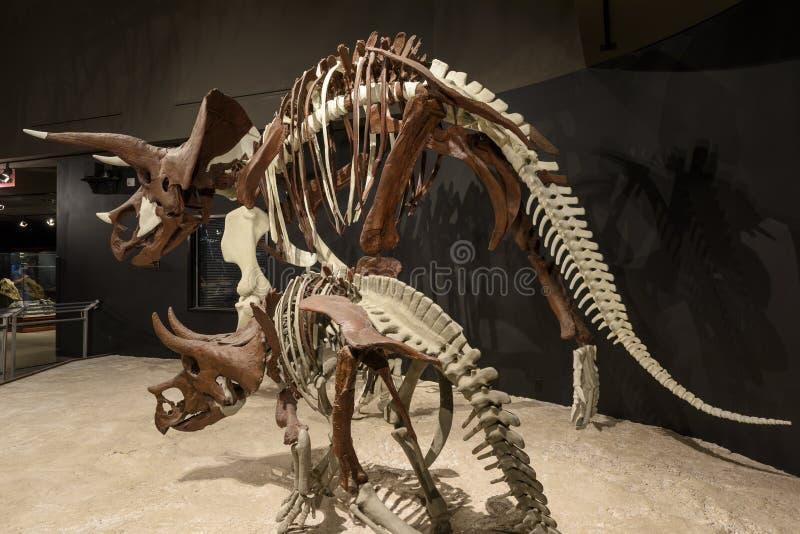 LEDARE 12 Juli 2017, Bozeman Montana, museum av de steniga bergen, fossil- utställning för Triceratops fotografering för bildbyråer