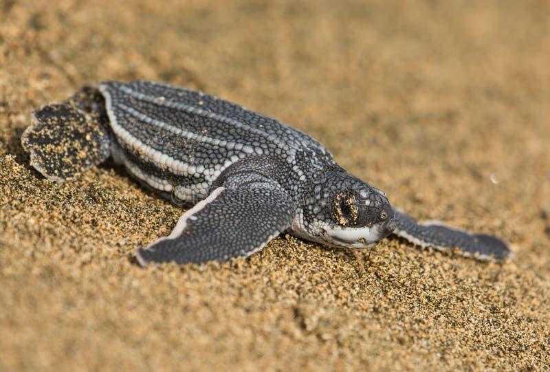 Lederschildkröte stockfotografie
