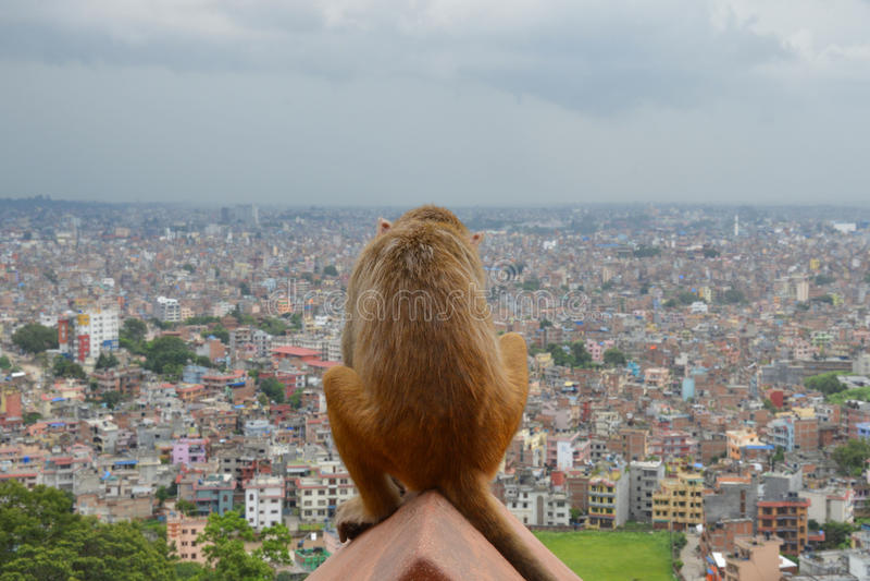 Ledsen apa Katmandu arkivbilder
