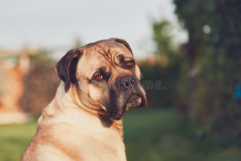 Ledsen blick av den enorma hunden arkivfoton