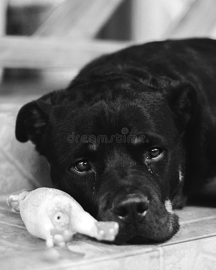 Ledsen blick för Rottweiler öga royaltyfri foto