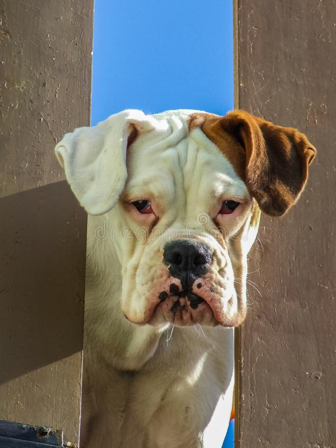 Ledsen boxarehund arkivbild