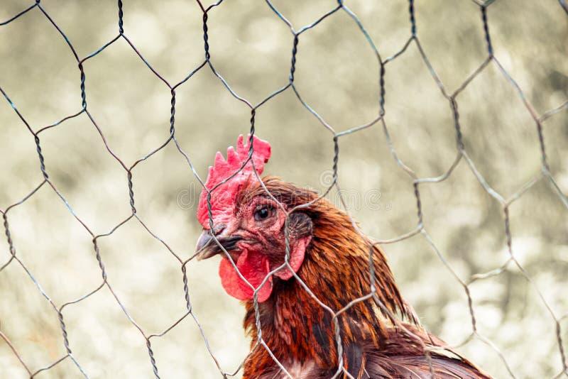 Ledsen brun höna i feg bur bak staket Djurt missbruk, grymhet till djur Hönaburar, batteribur Feg influensa, sjukdomar royaltyfri bild