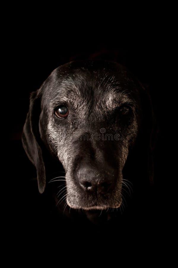 Ledsen gammal hund som ser kameran arkivfoto