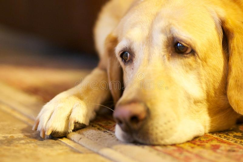 Ledsen hund arkivbild