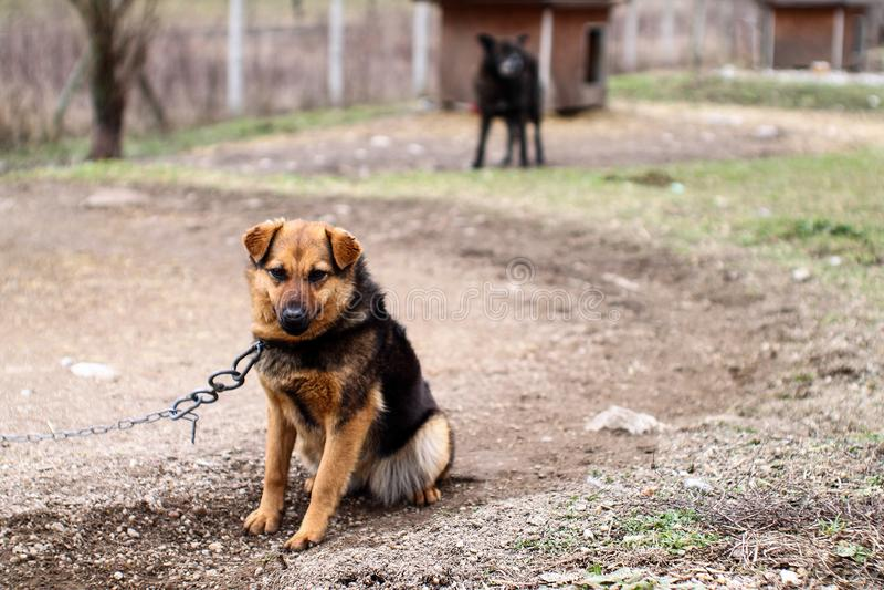 Ledsen hund på kedja Liv i det djura skyddet royaltyfria bilder