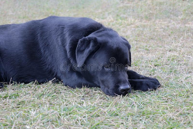 Ledsen labrador hund, i att ligga i sorgsenhetlynne arkivbilder