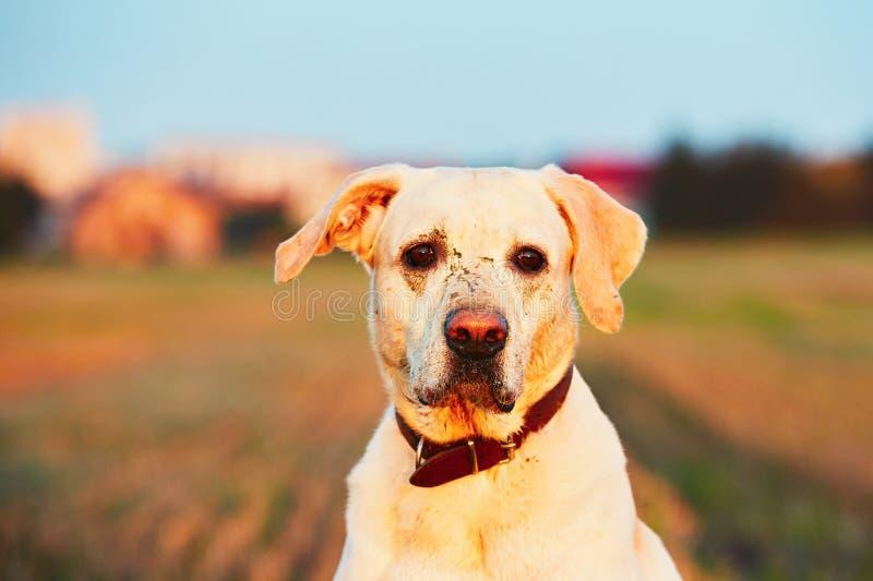 Ledsen lerig hund royaltyfri bild