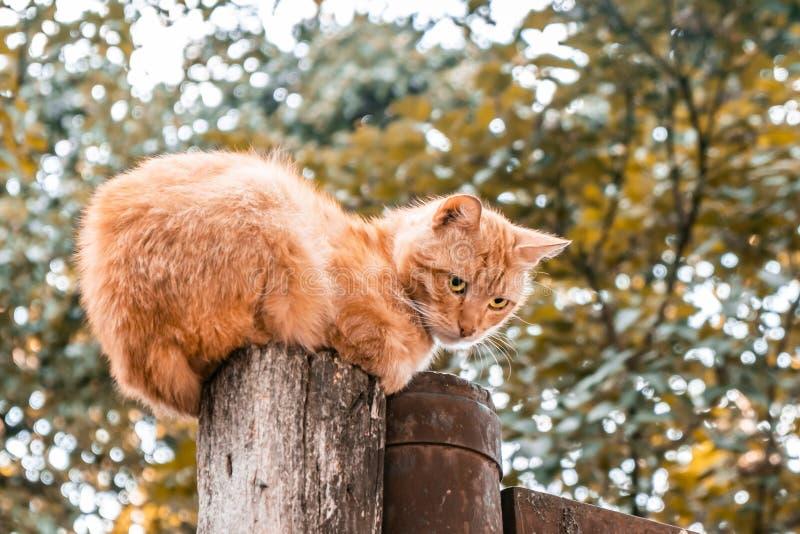 Ledsen ljust rödbrun katt som sitter på träpol royaltyfria bilder