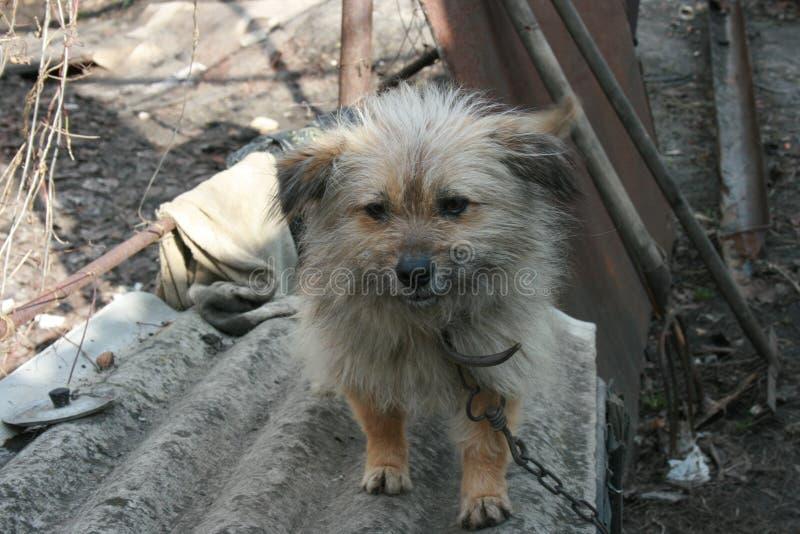 Ledsen lurvig hund på en kedja royaltyfria foton