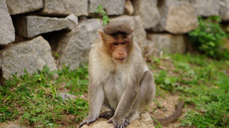 Ledsen macaque royaltyfria foton