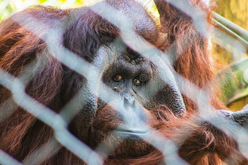 Ledsen seende orangutang som plirar till och med staketet arkivbilder
