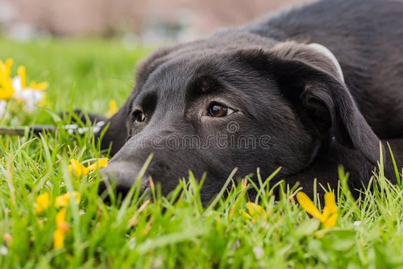 Ledsen seende ung svart valp av den labrador hunden i gräs arkivfoto