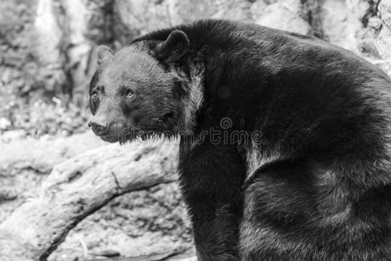 Ledsen svart bj?rn Lös vuxen svart björn fotografering för bildbyråer