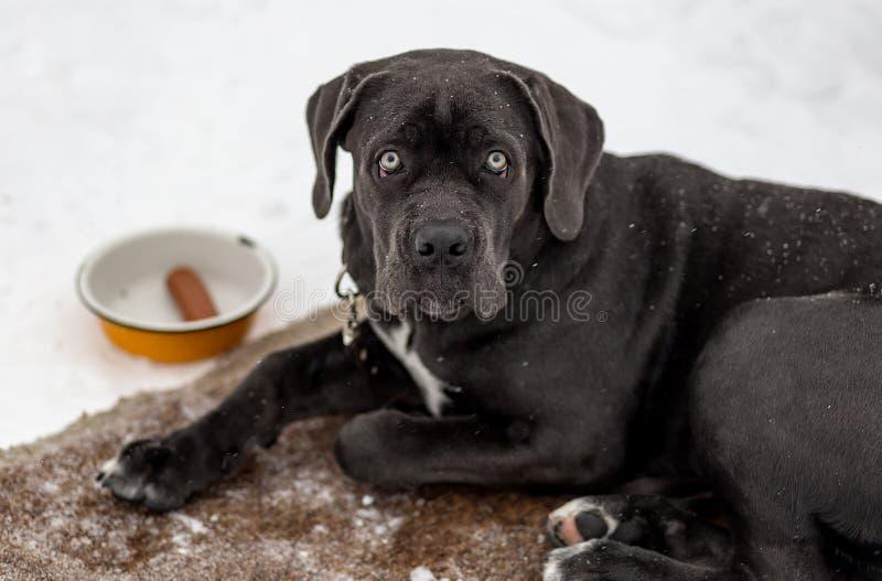 Ledsen svart labrador royaltyfri fotografi