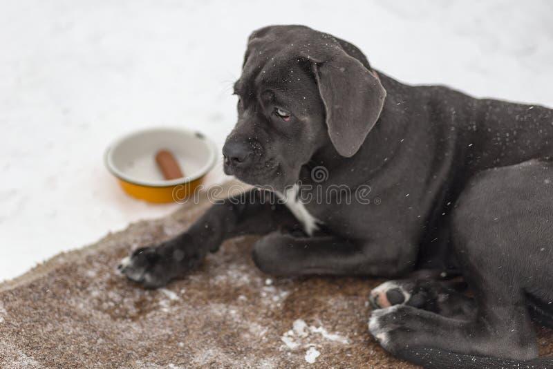 Ledsen svart labrador fotografering för bildbyråer