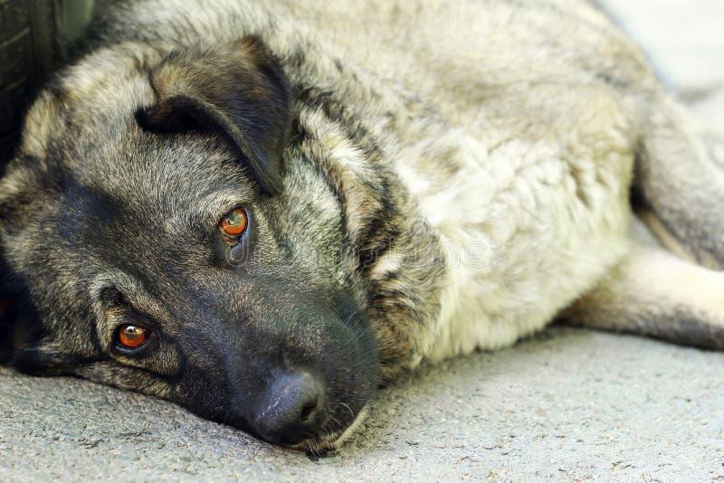 Ledsen tillfällig hund arkivbild