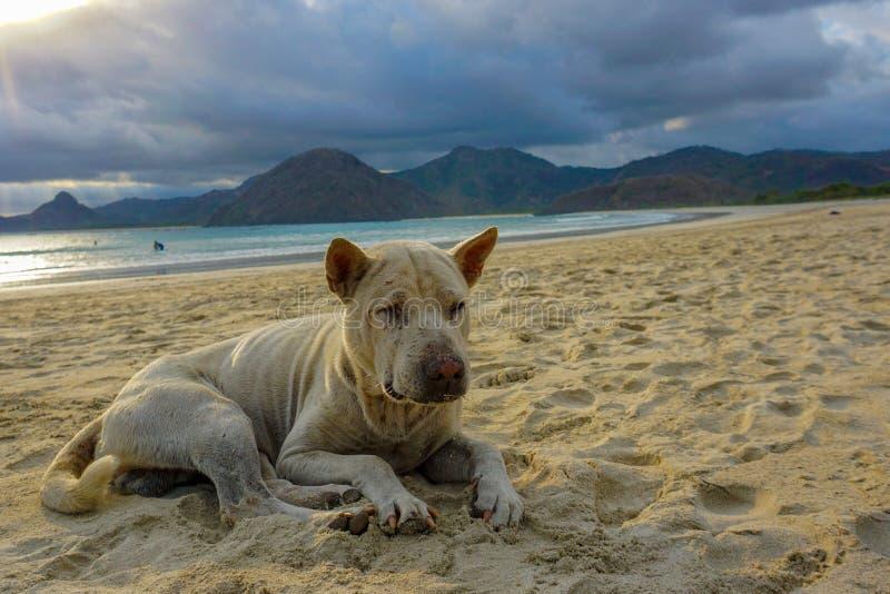 Ledsen tillfällig hund som sover på stranden arkivbilder