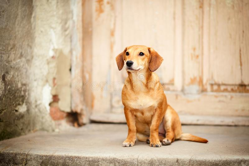 Ledset, förskräckt och misströsta, övergiven liten hund som sitter på ytterdörren av ett deserterat, nästan demolerat hus arkivfoton