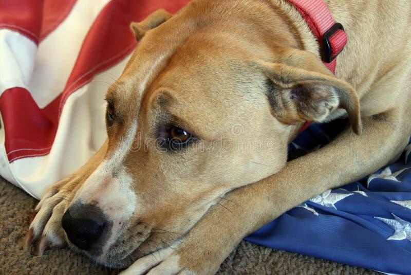 Ledsna Pit Bull Terrier Dog med amerikanska flaggan arkivbild