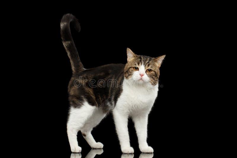 Ledsna vita skotska raka Cat Standing i svart bakgrund royaltyfri bild