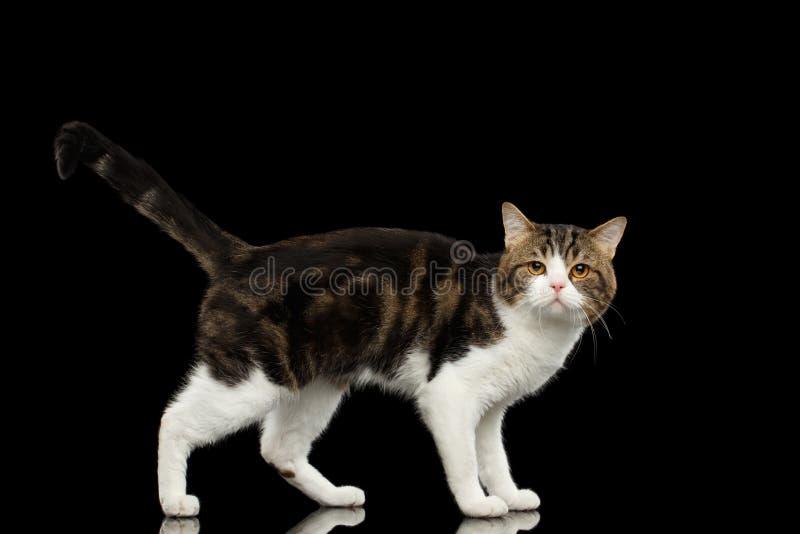 Ledsna vita skotska raka Cat Standing i svart bakgrund fotografering för bildbyråer