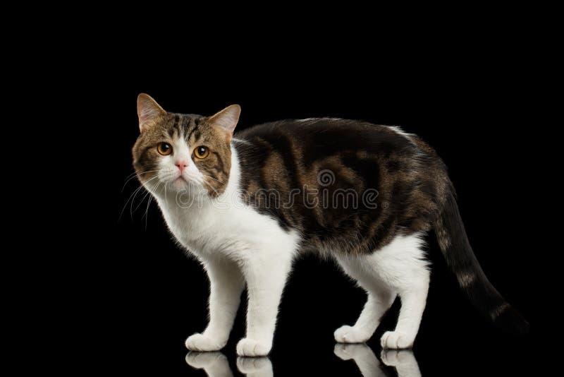 Ledsna vita skotska raka Cat Standing i svart bakgrund arkivfoton