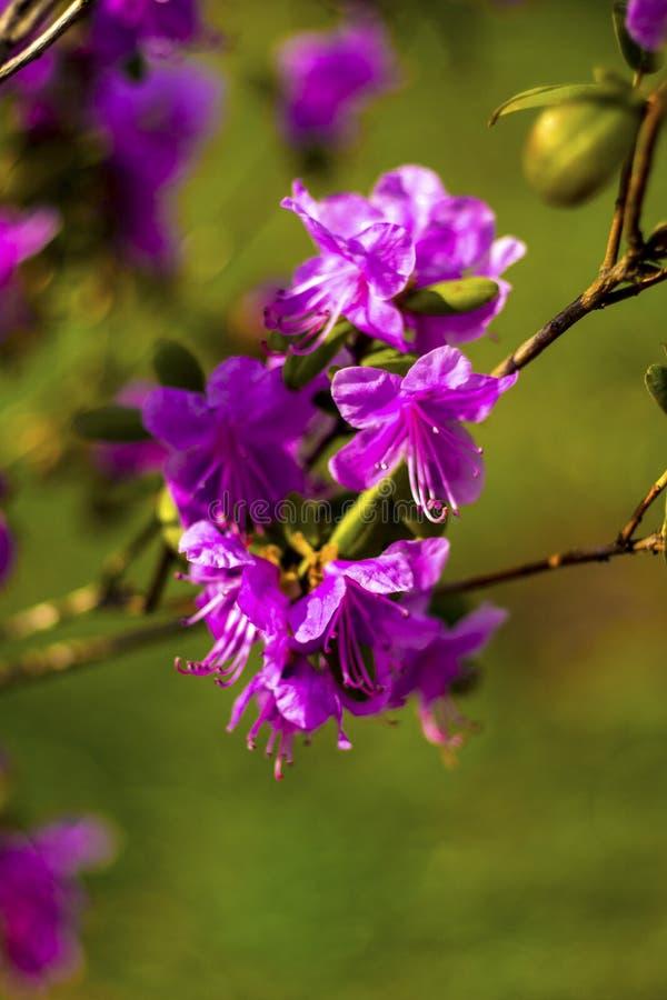 Download Ledum Ledum Palustre Rhododendron Tomentosum Anlage Im Wald Stockbild - Bild von nave, zweig: 90228487