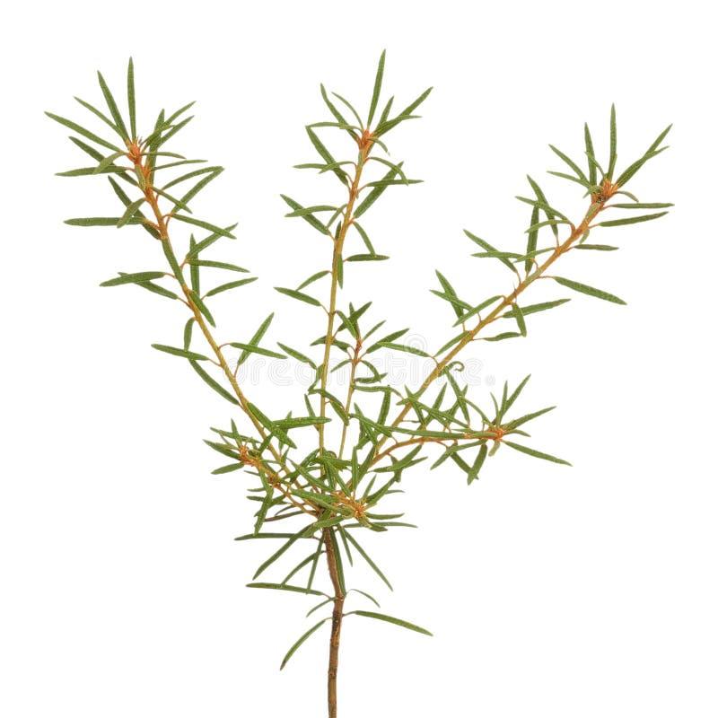 Free Ledum Palustre Plant Isolated On White Background Royalty Free Stock Images - 44439319