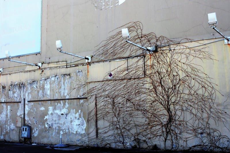 Leef boom beklimmend bij de muur royalty-vrije stock foto's