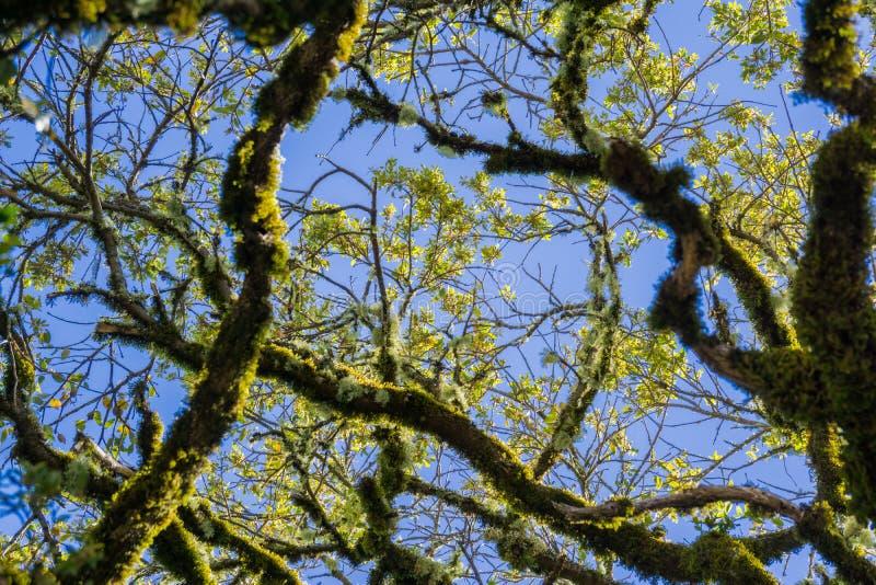 Leef eiken takken die in mos op een blauwe hemelachtergrond worden behandeld, Californië stock afbeelding