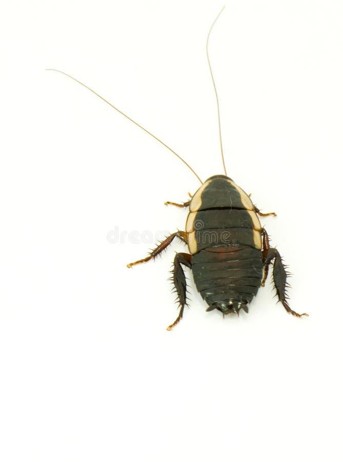 Leef kakkerlak   royalty-vrije stock fotografie