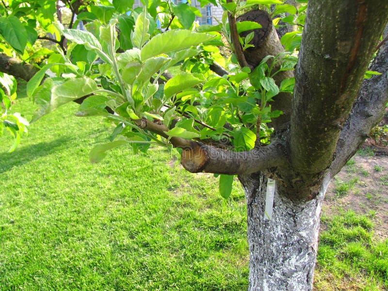 Leef knipsels bij het enten van appelboom in gespleten met het kweken van bladeren en etiket met de naam van appelcultivar royalty-vrije stock foto's