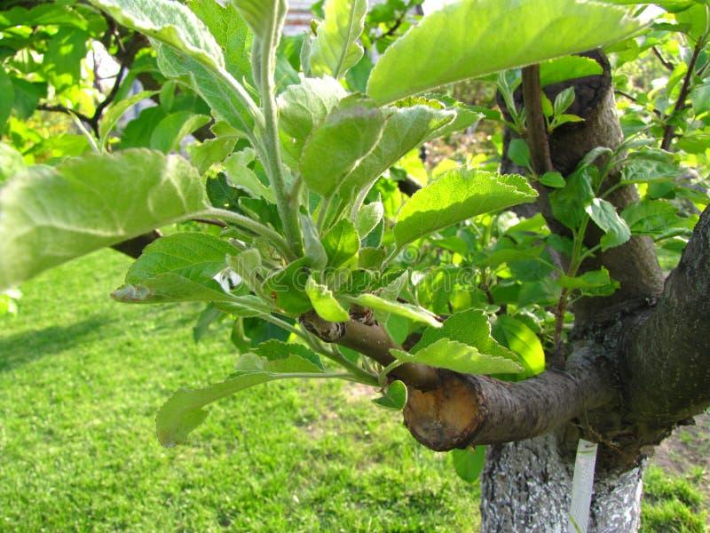 Leef knipsels bij het enten van appelboom in gespleten met het kweken van bladeren en etiket met de naam van appelcultivar royalty-vrije stock afbeeldingen