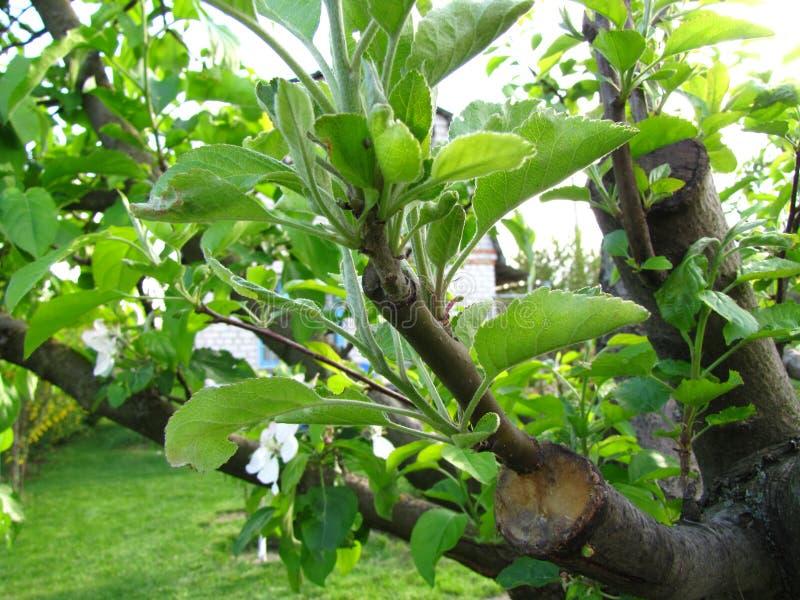 Leef knipsels bij het enten van appelboom in gespleten met het kweken van bladeren en jonge takjes royalty-vrije stock afbeeldingen