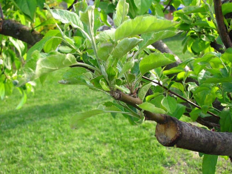 Leef knipsels bij het enten van appelboom in gespleten met het kweken van bladeren en jonge takjes stock fotografie