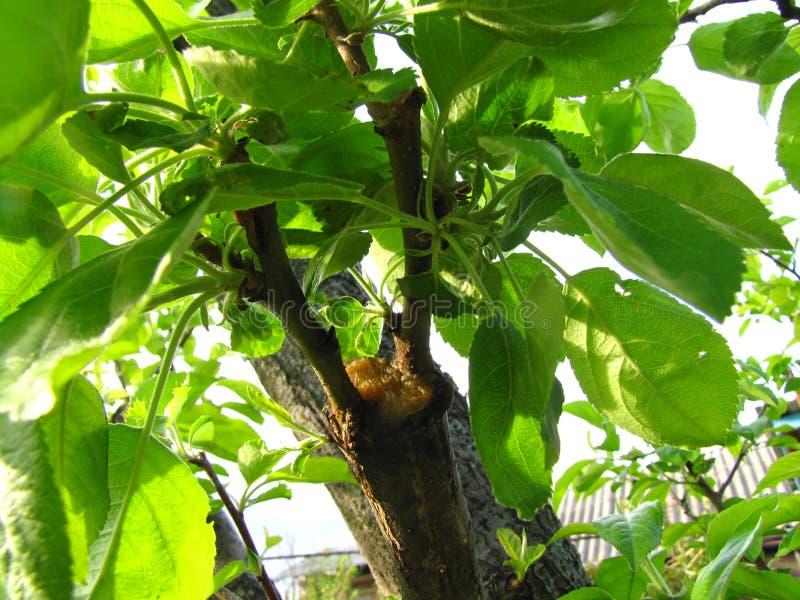 Leef knipsels bij het enten van appelboom in gespleten met het kweken van bladeren en jonge takjes stock afbeeldingen
