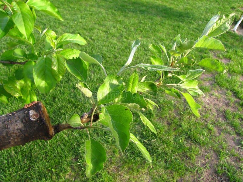 Leef knipsels bij het enten van appelboom in gespleten met het kweken van bladeren en jonge takjes royalty-vrije stock fotografie