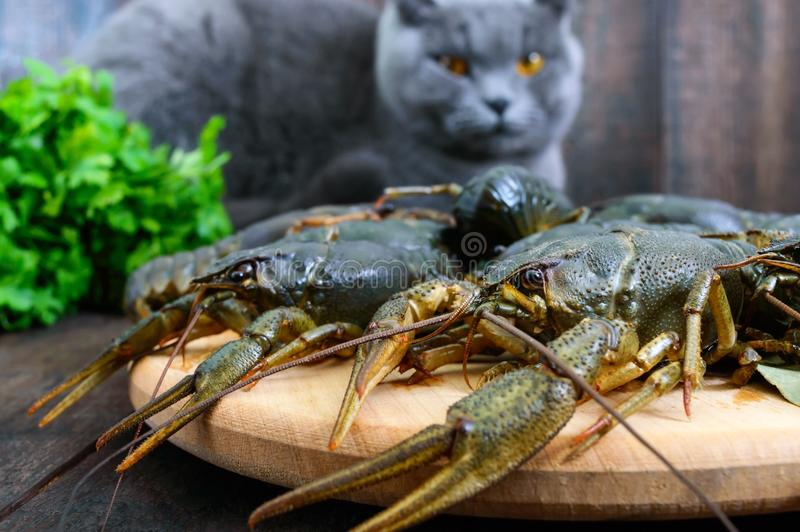 Leef rivierkreeften op een houten dienblad in de voorgrond Een grijze kat bekijkt een verse vangst royalty-vrije stock fotografie