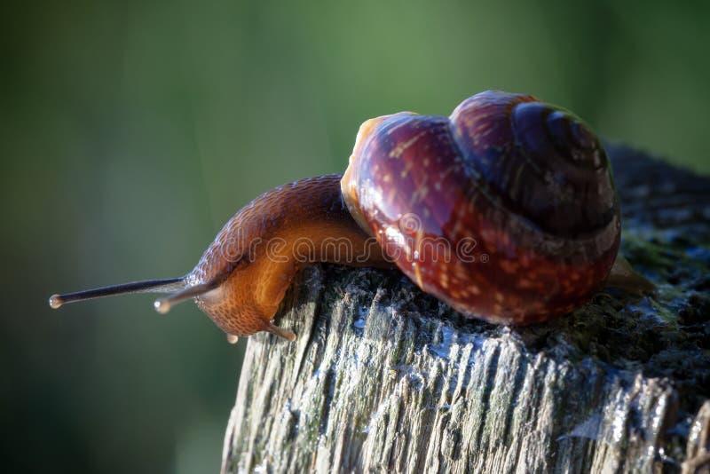Leef spiraalvormige slak op een houten oppervlakte neer kijkend royalty-vrije stock afbeeldingen