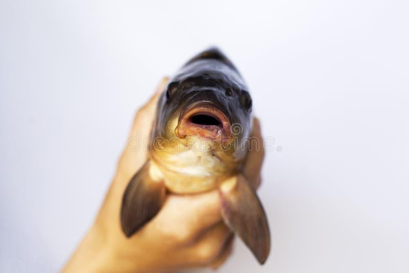 Leef ter beschikking de karper van riviervissen royalty-vrije stock foto