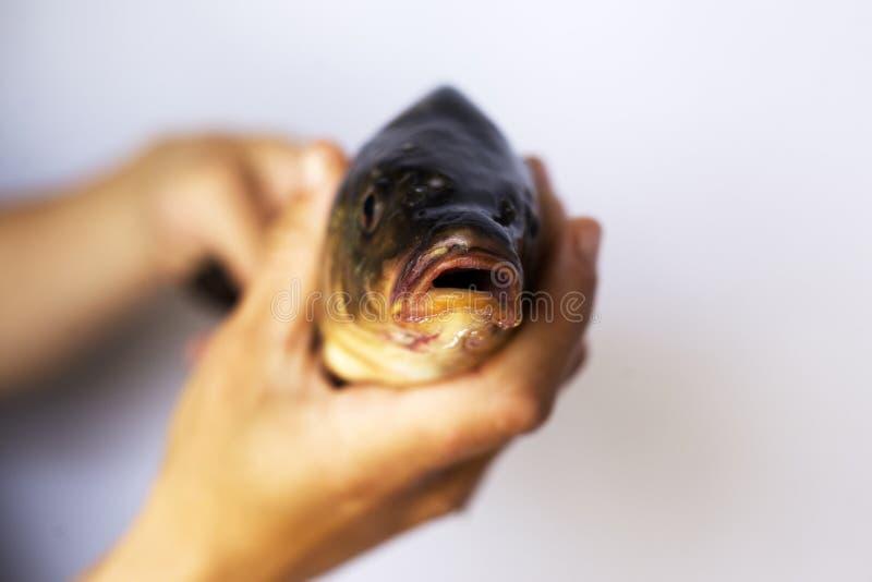 Leef ter beschikking de karper van riviervissen royalty-vrije stock afbeeldingen