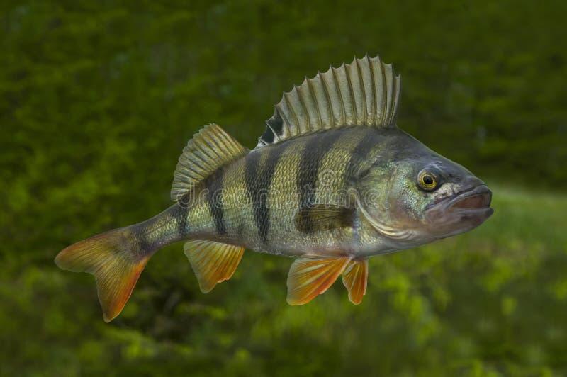 Leef toppositievissen op natuurlijke groene achtergrond worden geïsoleerd die stock foto