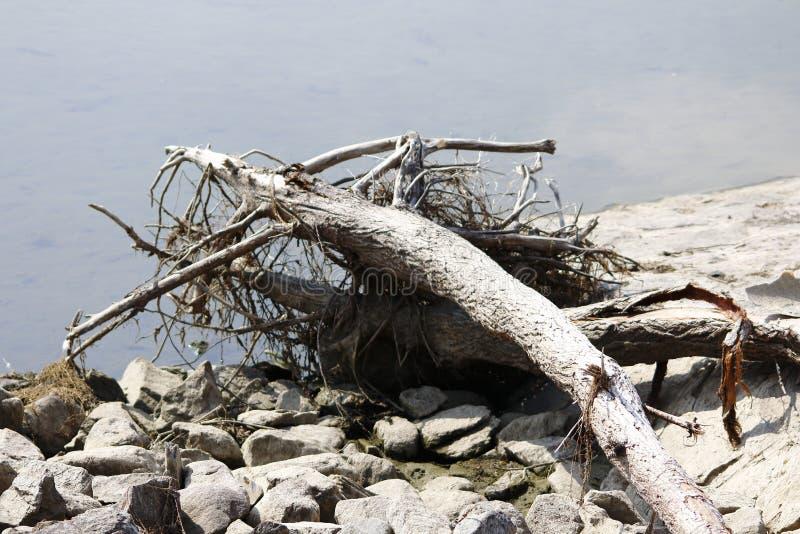 Leeftijds droge boomstam, alluviaal op de kust van het meer, wrakstukken stock foto's